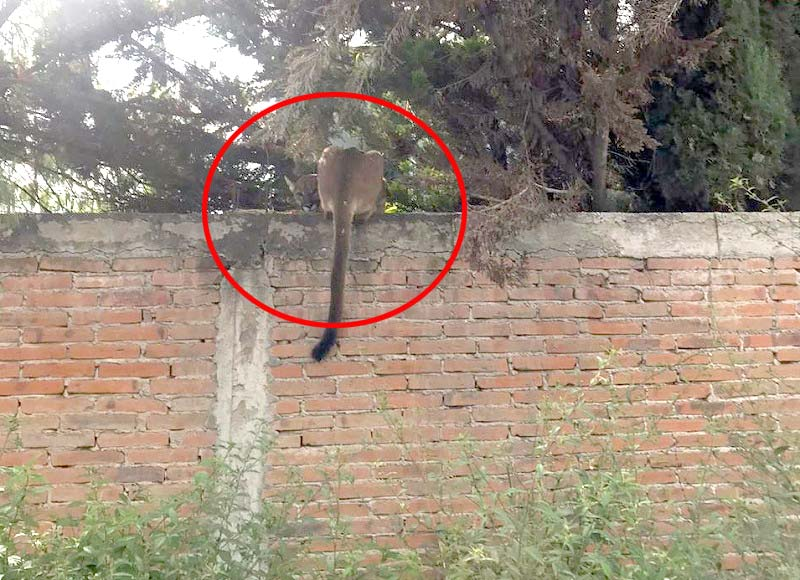Buscan a puma suelto en zona urbana de San Juan del Río QRO