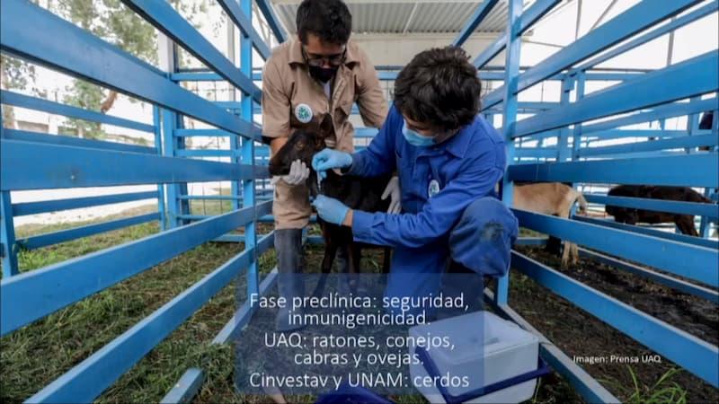 Vacuna UAQ contra COVID-19 genera anticuerpos en caprinos